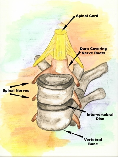 Thoracic Bones, Discs, Nerves and Cord