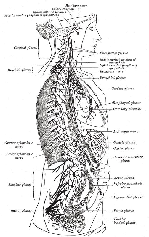 Celiac Plexus Diagram