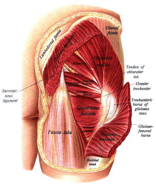 Piriformis Muscle