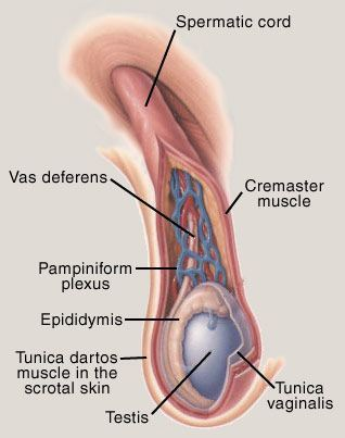 Testicular Pain Diagram